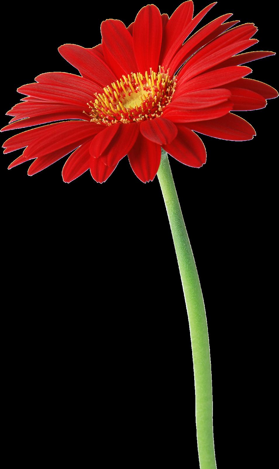 Tarım Siteniz Gerbera 199 I 231 Eği Gerbera Flower