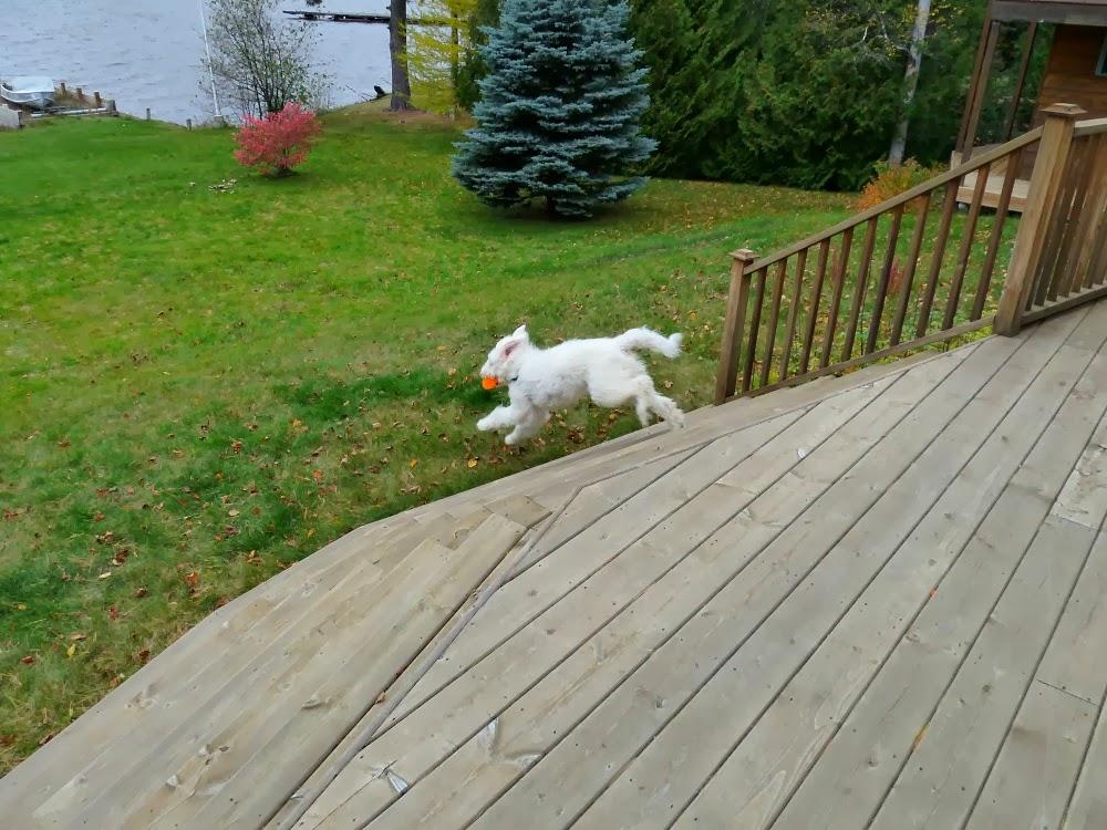 Komondor puppy running