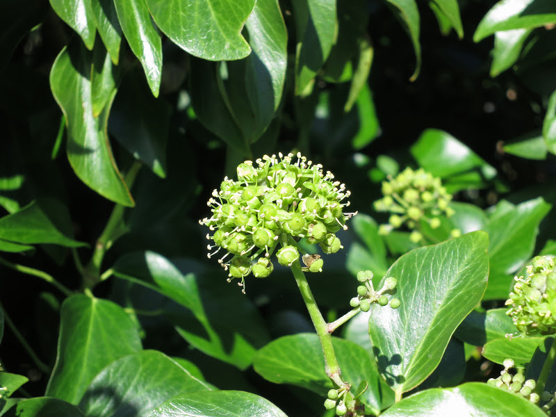 Ivy flower ball surrounded by ivy leaves