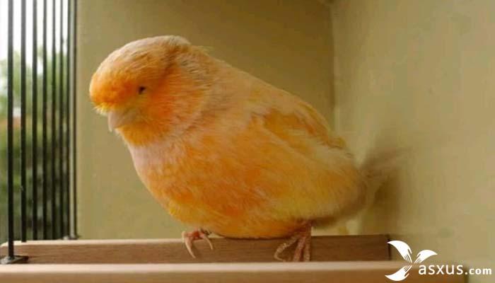 8 Jenis Burung Kenari Lengkap Gambar, Nama, Ciri, dan Harganya