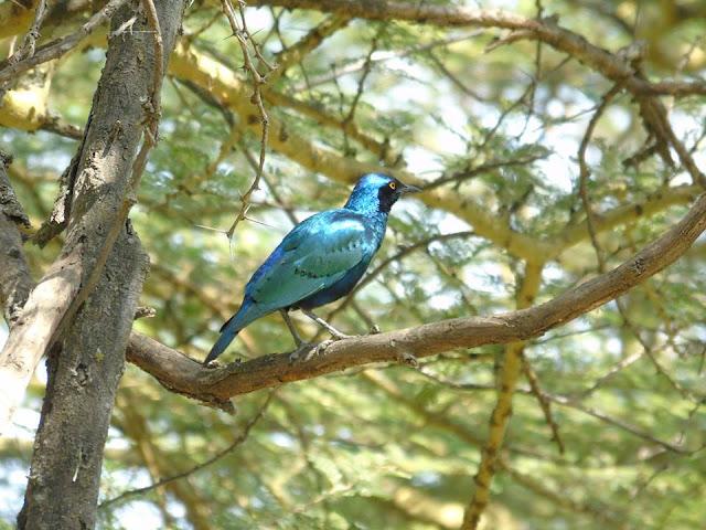 Starling lake nakuru national park kenya safari