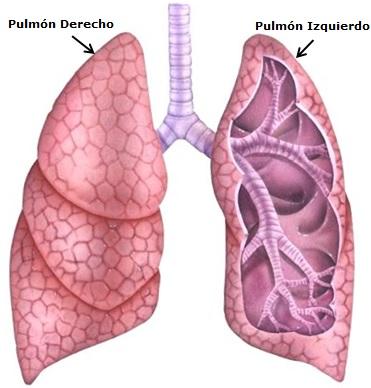 Dibujo del pulmón derecho y pulmón izquierdo a colores