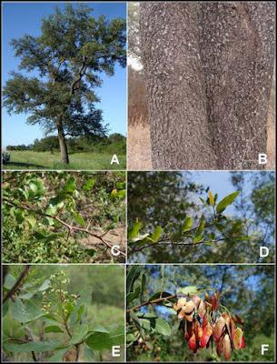 Schinopsis balansae tronco