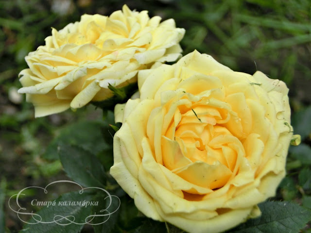 розы, розарий, сочетания роз, розы фото, розы в саду, цветники с розами