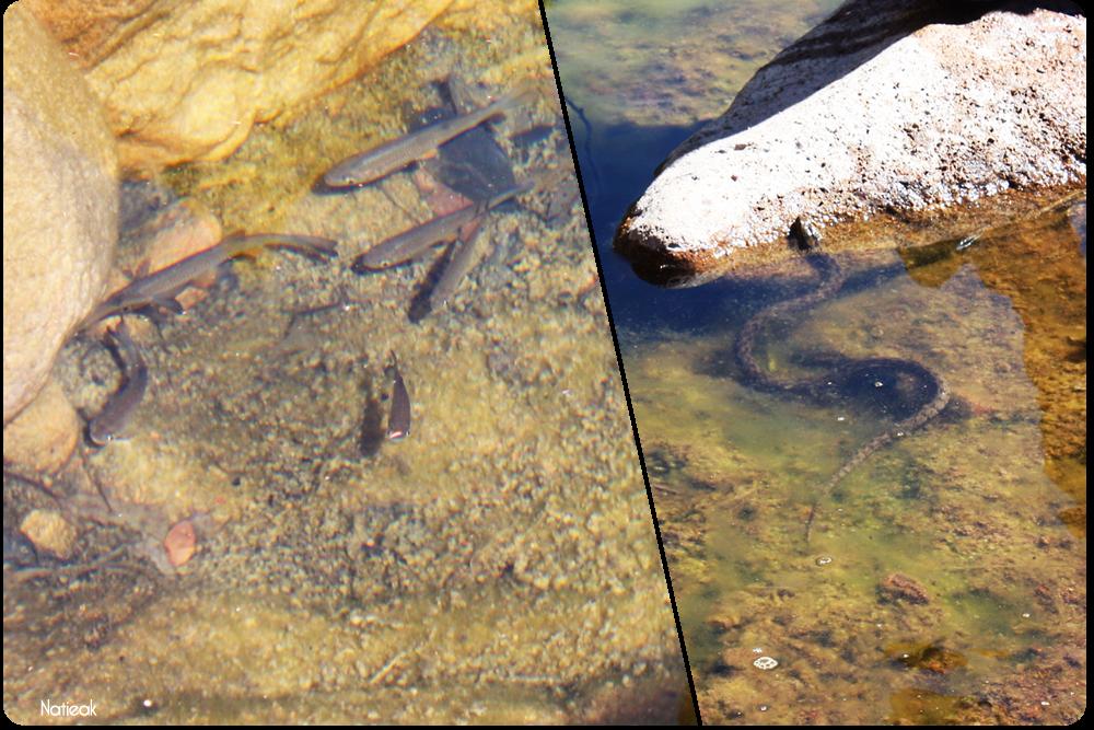 poissons et couleuvre rde la rivière du ravin de Mal Infernet