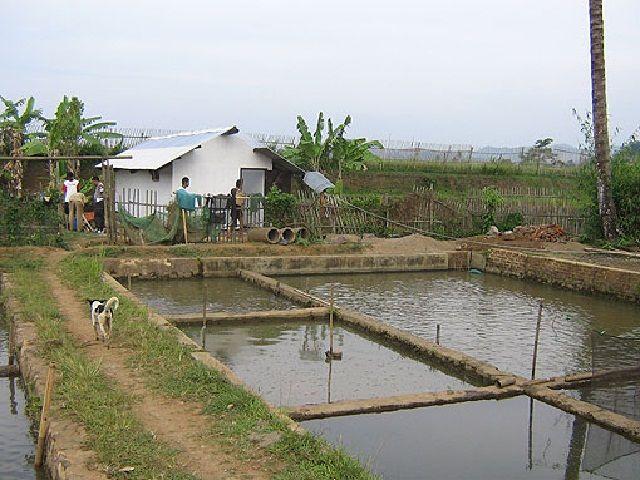 Budidaya Ikan Patin di Karamba