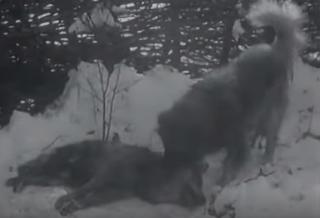 Πρωτοφανές βίντεο: Τσοπανόσκυλα εντοπίζουν τους λύκους στο κοπάδι και τους σκοτώνουν...