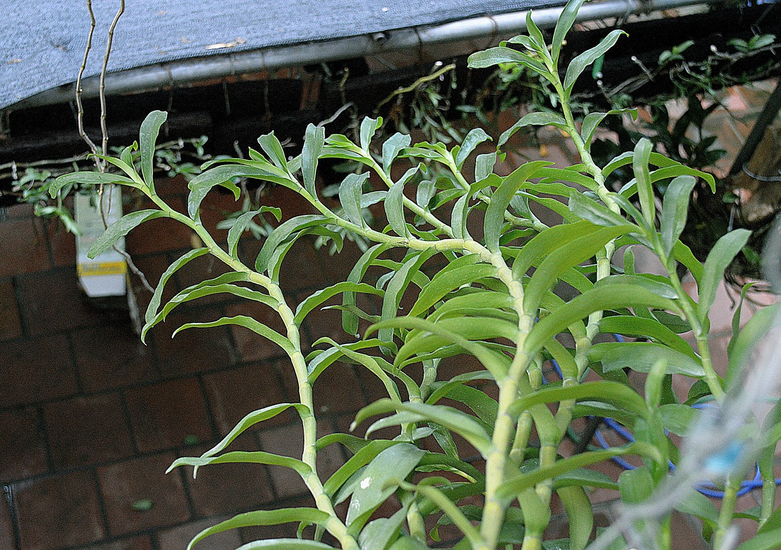 ... LAN PHI ĐIỆP: Có tên khác là Dã hạc, Giả hạc ( tên khoa học :Dendrobium anosmum)