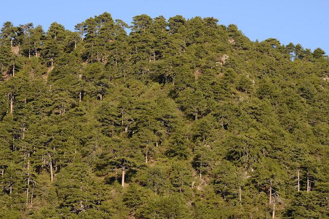 10 χρόνια μετά την καταστροφική πυρκαγιά στον Πάρνωνα το δάσος μαύρης πεύκης καλύπτει ξανά τις πλαγιές του
