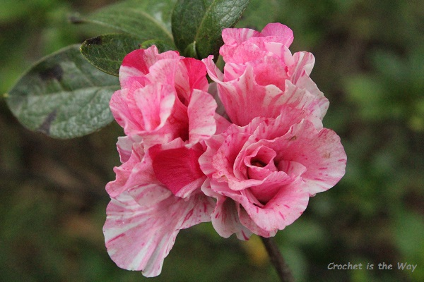 flower, photography, azaleas, pink, variegated