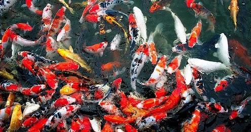 Cara Mudah  Budidaya Ikan  Mas Koi  Kicau Mania
