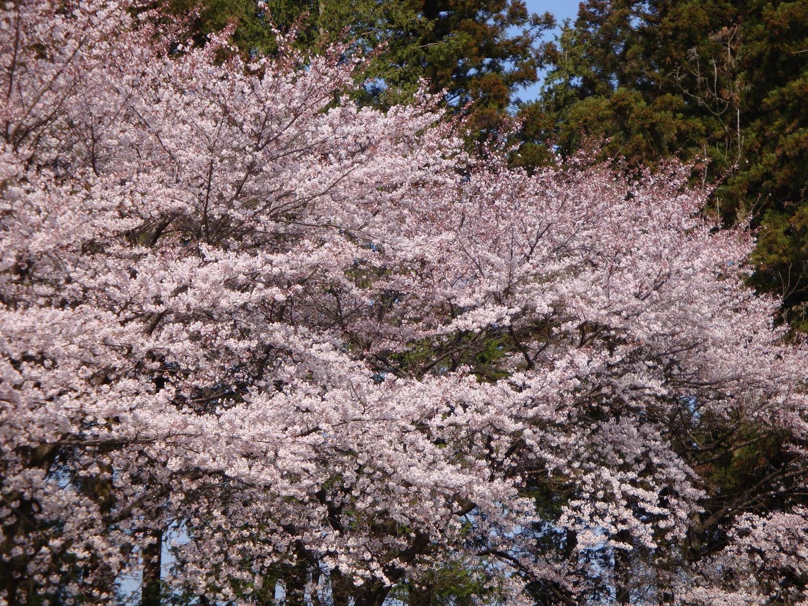 遠い満開の桜並木