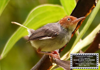 Ashy Tailorbird or Red-headed Tailorbird