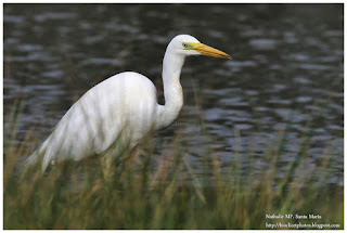 https://bioclicetphotos.blogspot.fr/search/label/Grande%20Aigrette%20-%20Ardea%20alba