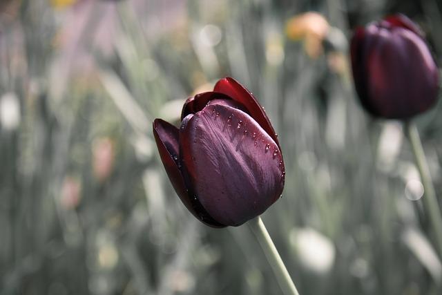 hoa tulip dep nhat 7