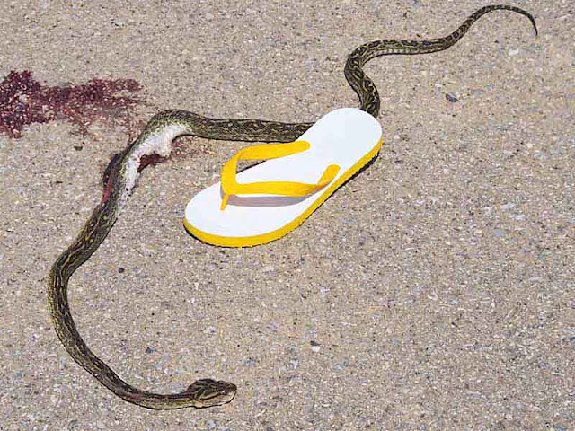 Dead habu snake on an Okinawa road, flip-flop