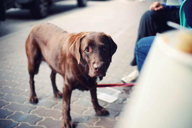 Sydney Brown Labrador