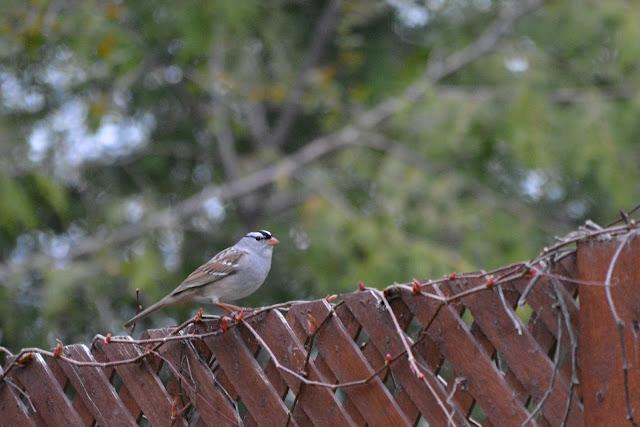 White-crowned Sparrowbirdin Pembroke, Ontario Photo by Stacey McIntyre-Gonzalez Copyright©