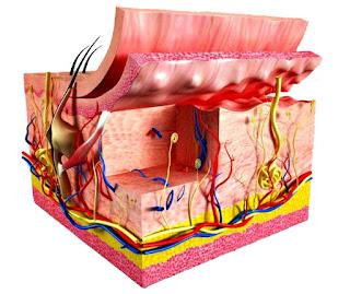 Sistema tegumentario piel