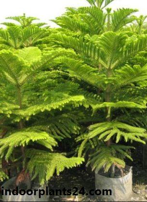 Araucaria heterophylla indoor  house plant image