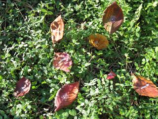 草場に落ちた枯葉たち