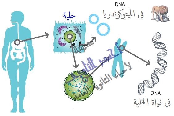 الجينوم البشرى GENOME   -  الحمض النووى DNA – الكروموسومات- الجينات – الميتوكوندريا – البلاستيدات الخضراء -  أحياء الثانوية العامة – مدونة أحمد النادى