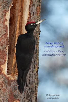 Fekete harkály Black Woodpecker Schwarzspecht Dryocopus martius