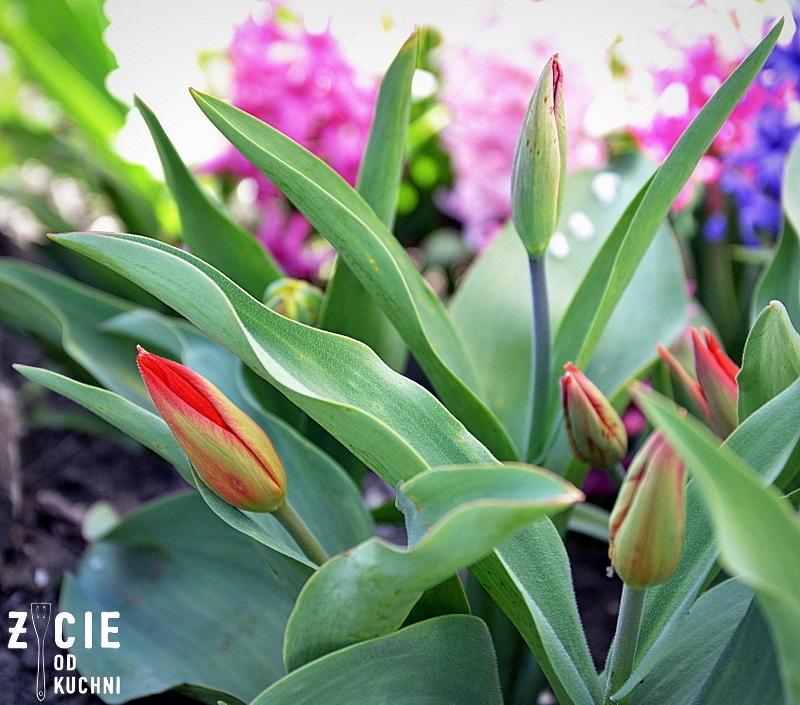 tulipany, ogrod, rozkwitaj na wiosne, wiosna, piekna na wiosne, jarmuz, ananas, maslanka,otreby, kiwi, zielony, koktajl, smoothie, kosmetyki, makijaż,