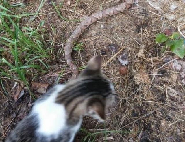 Kucing Bunuh Ular, Lihat Apa Yang Mereka Lakukan Pada Ular Tersebut