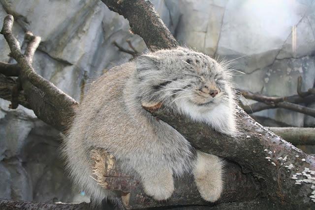 #3 Pallas Cat (Octocolobus Manul)