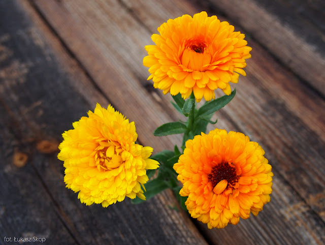 jadalny kwiat nagietka
