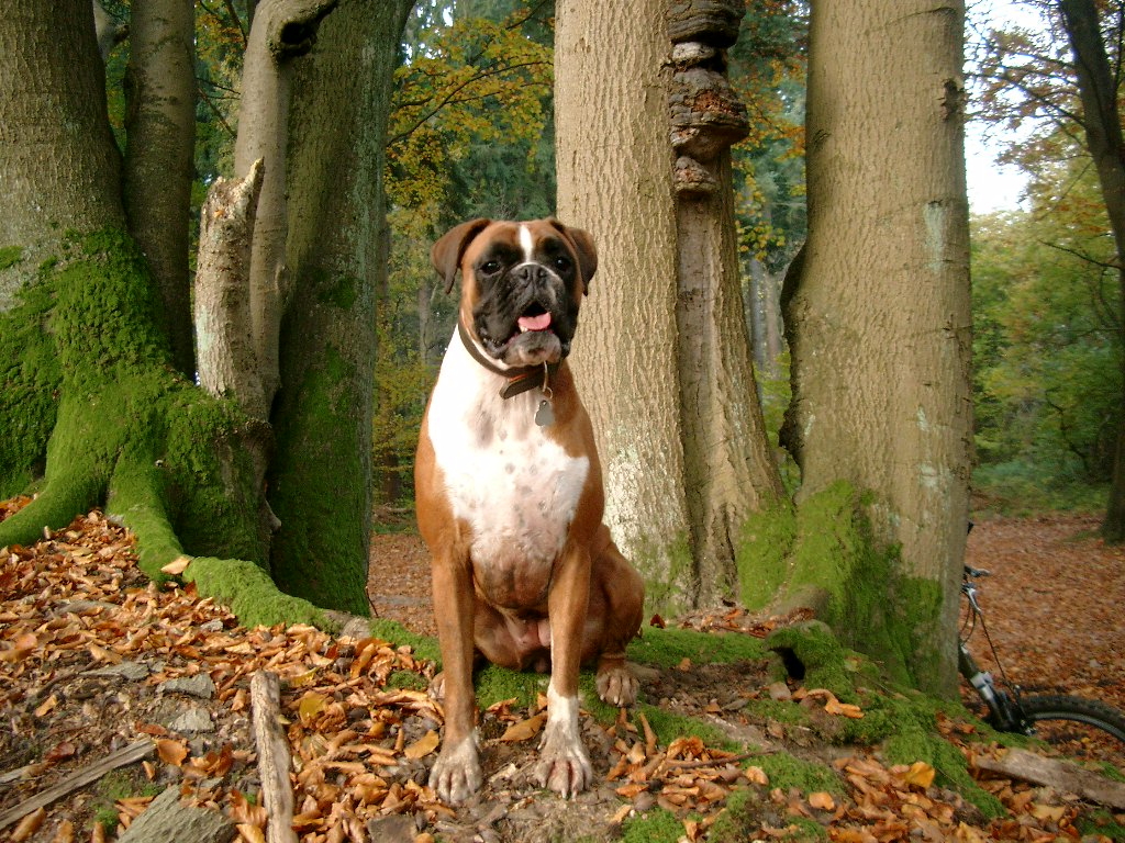 all wallpapers boxer dog pictures