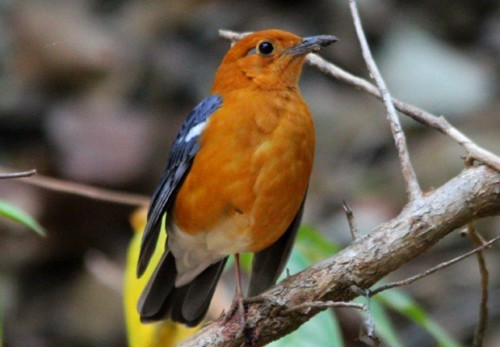 Ciri Ciri Umum Burung Anis Merah Jantan