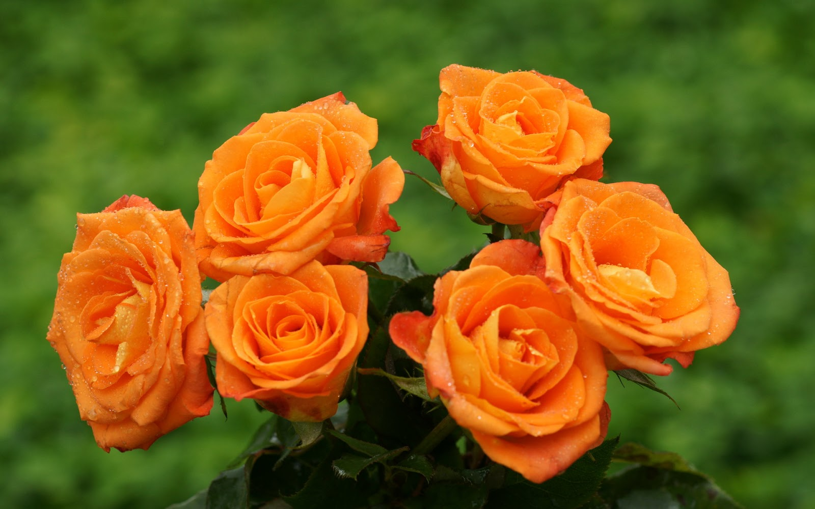 Beautiful Roses HD Desktop Wallpapers in 1080p ~ Super HD ...