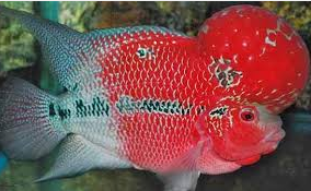 Jenis Jenis Ikan Hias Louhan Dan Harganya Di Pasaran