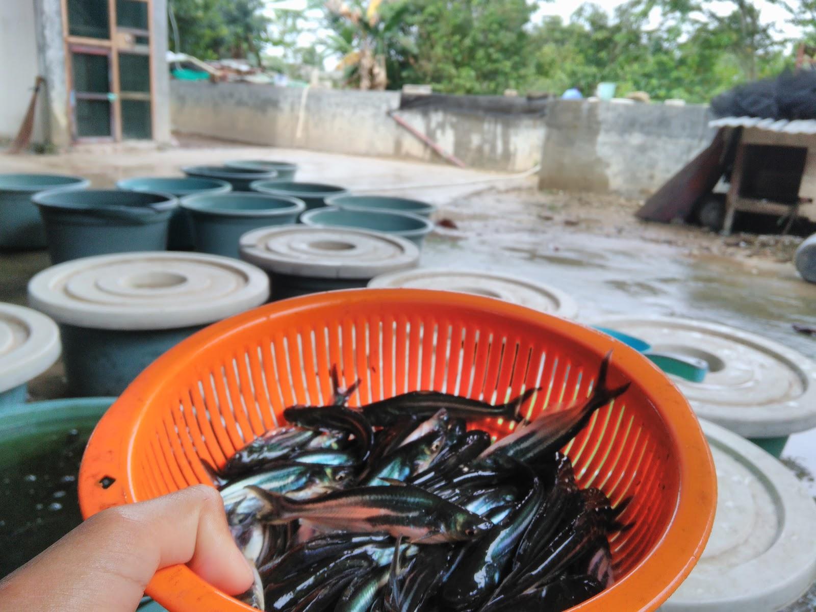 Bibit Ikan UNGGULAN TERBAIK Dan TERMURAH Bibit IKAN