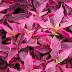 Karakteristik Tanaman Hias Bayam Merah (Aerva sanguinolenta L.)