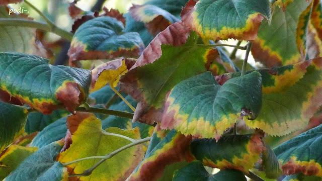 tilo otoño