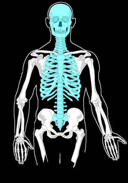 anatomie squelette axial ostéologie infirmier