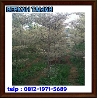 pohon ketapang kencana - tanaman hias - tanaman pelindung