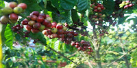 как и где растёт кофе.