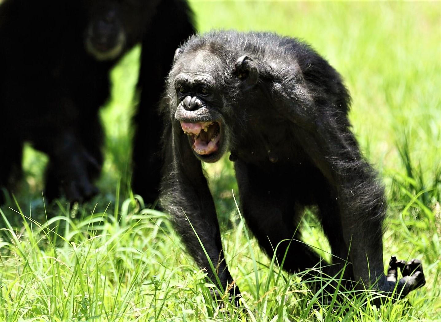 「チンパンジー 威嚇」の画像検索結果