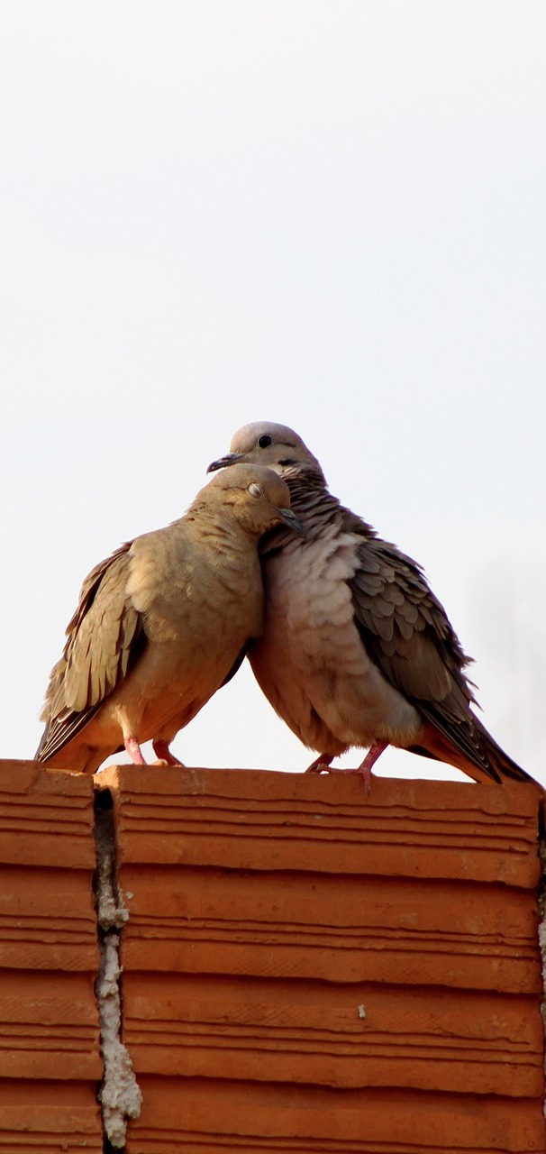 Capturing a pigeon's love story.
