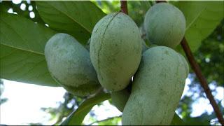 gambar buah pawpaw