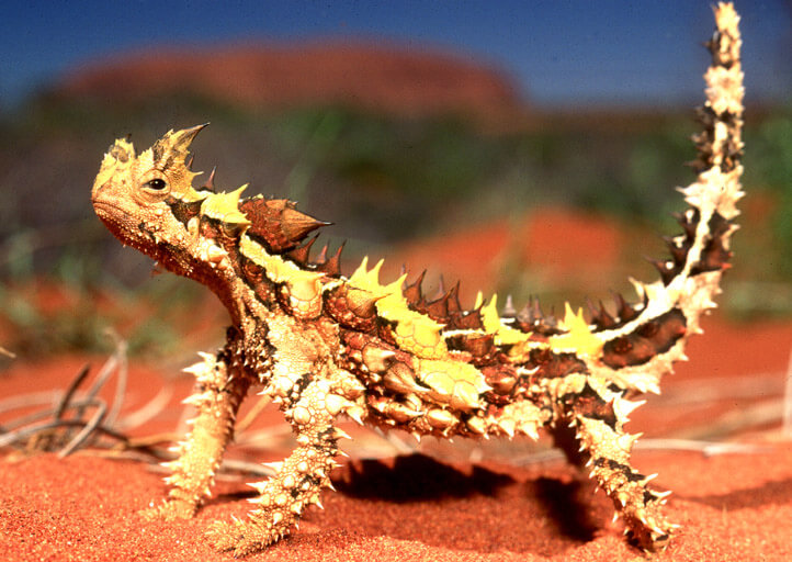 12 Mysterious But Beautiful Creatures You've Probably Never Seen - THORNY DRAGON