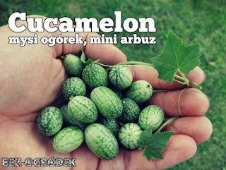 Ogórek meksykański uprawa