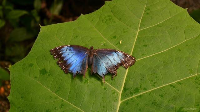 Wallpaper met een blauw zwarte vlinder