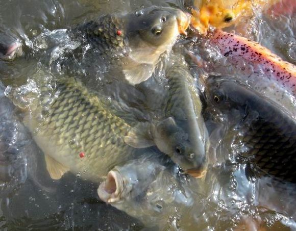 Ini Dia Umpan Jitu Ikan Mas Harian Tanpa Kroto