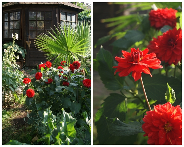 Rote Pompon-Dahlie im Juli