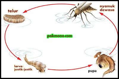 metamorfosis sempurna pada nyamuk